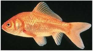 cara membuat umpan ikan mas paling uh umpan mancing ikan mas cenil ampuh resep umpan ikan