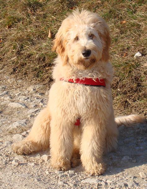 Der Goldendoodle