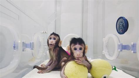 Gorilla Clone Dengan Embos 1 1 scientists clone monkeys for the time getting closer to cloning human beings