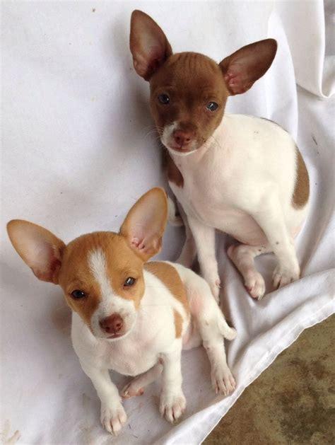 rat terrier puppies 25 best ideas about rat terrier puppies on rat terriers rat terrier dogs