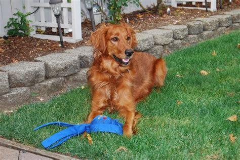 golden retriever setter cross reba akc golden retriever and setter puppies