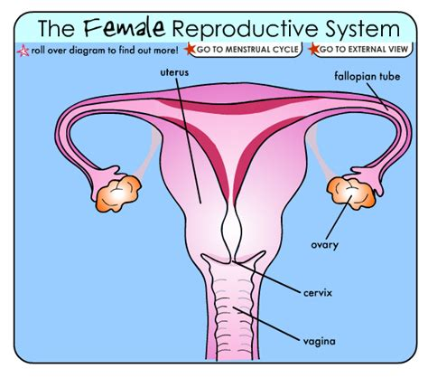 diagram reproductive system reproductive system diagram label