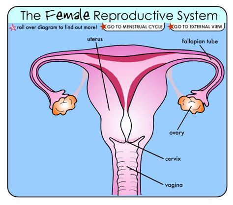 external female reproductive system diagram the gallery for gt female reproductive system diagram