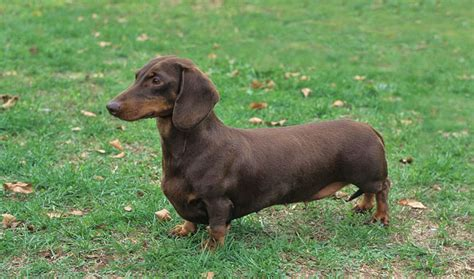dotson dogs dachshund breed information