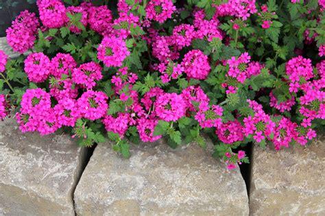 imagenes de flores verbenas fondos de pantalla verbena planta muchas rosa color flores