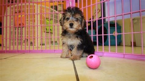 yorkie poos for sale in ga amazing yorkie poo puppies for sale in atlanta ga at puppies for sale local