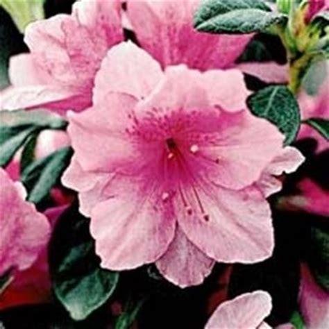 fiori di rododendro significato rododendro significato dei fiori