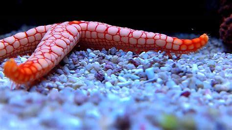 Maxi Sceva Syari fish walking you can actually see his legs