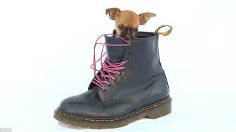 Meet rocky the tiny chihuahua with a huge clothes habit britain 191 s best dressed dog joins tv 191 s