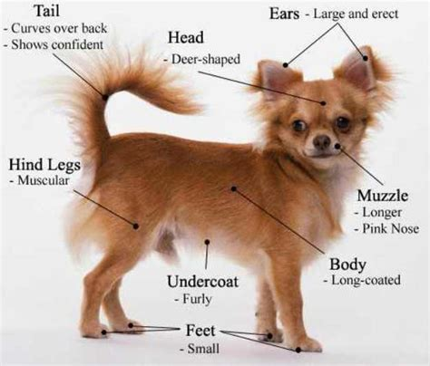 how to a chihuahua tips on how to a chihuahua tips