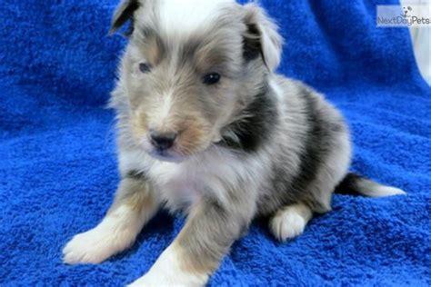 blue merle sheltie puppies for sale meet mikki a shetland sheepdog sheltie puppy for sale for 700 blue merle