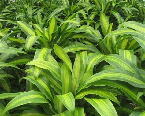 corn plant common house plants gardensonline dracaena fragrans massangeana