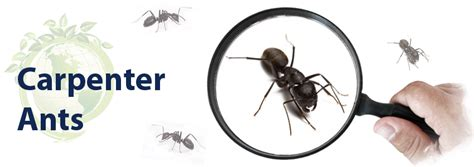 how to get rid of carpenter ants in bathroom how to get rid of carpenter ants classic insulation and