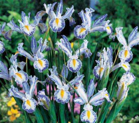 van bourgondien delft blue dutch iris 20 pc bulb collection qvc com