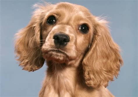 puppies their why do dogs tilt their to the side scientists the answer metro news