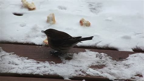 winter bird eating bread crumbs outdoors on the snow