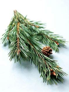 1000 images about no 26 scotch pine on pinterest