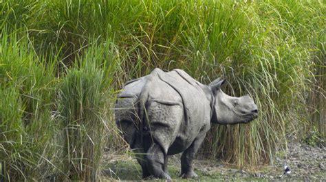 hippopotamus  kaziranga national park hd wallpapers