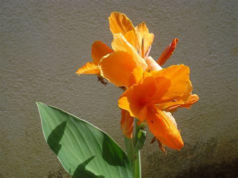 Cyntia New Syari Flower 1 kana flower canna flower or canna canna flower or flickr