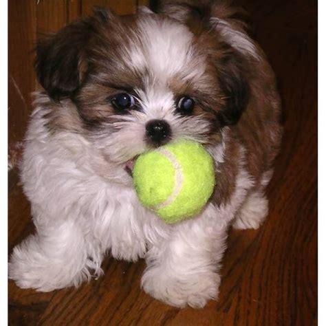malshi puppy malshi puppy pets