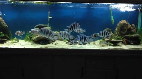 american aquascapes 300g african cichlid natural aquascape youtube