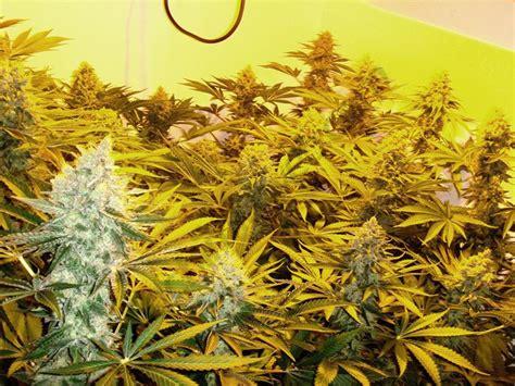 effect  cold  cannabis plants alchimiaweb