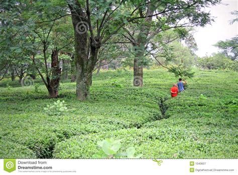 Winding Path Gardens by Winding Path Through Kangra Tea Gardens India Royalty