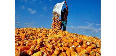 Agen Jagung Pakan Ternak Surabaya jagung impor masuk harga di petani turun jadi rp 4 000 kg