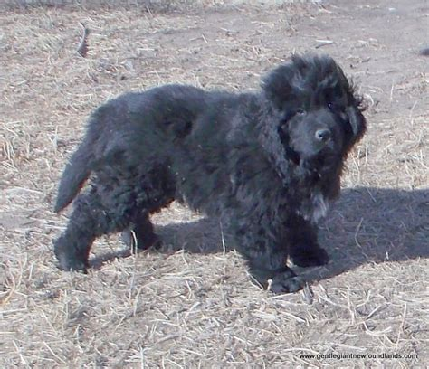 newfoundland puppies colorado gentle newfoundlands newfoundlands belleville ks puppies for sale