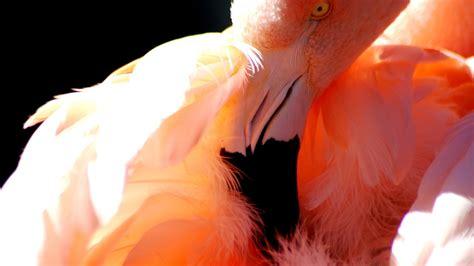 flamingo live wallpaper fond d 233 cran de flamants roses
