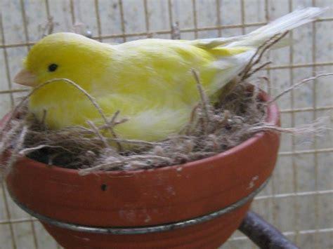 canarini riproduzione in gabbia canarini riproduzione canarini come si riproducono i