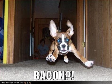 Dog Bacon Meme - bacon images bacon dog wallpaper and background