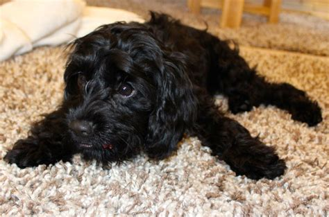 cavapoo puppies cavapoo puppies burton upon trent staffordshire pets4homes