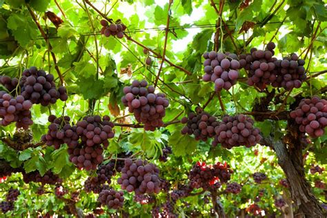 Table Grapes by Table Grapes Suiderland Plase