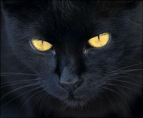 el gato negro y 8466655719 el gato negro wiki gatopedia