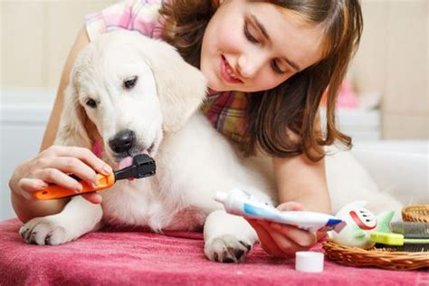 best nail clippers for golden retrievers golden retriever breed information photos history and care advice