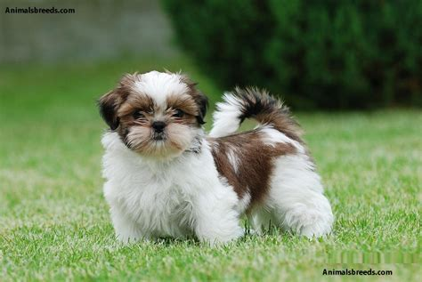 shih tzu information and facts shih tzu pictures puppies information temperament characteristics rescue