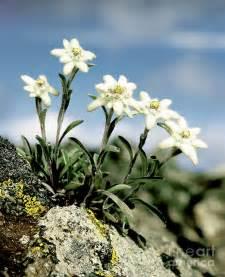 Beautiful Art America #4: Edelweiss-hermann-eisenbeiss.jpg