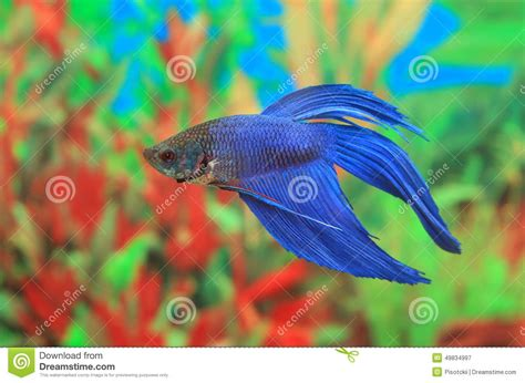 Mini Fish Blue betta splendens of blue color stock photo image 49834997