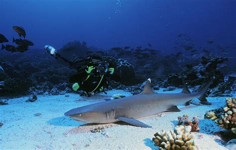 Requin Dormeur by Taoto 239 Moorea Topdive