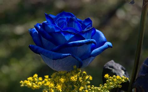 wallpaper flower rose blue blue rose flowers flower hd wallpapers images pictures
