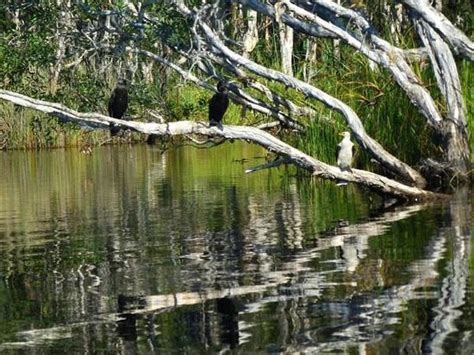 boreen point boat hire birdlife through the noosa everglades picture of lake