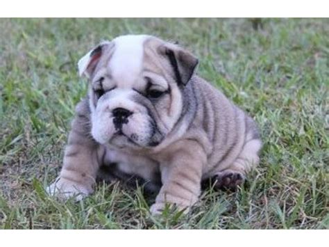 puppies for sale australia pin australian bulldogs for sale qld on