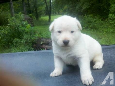 all white german shepherd puppies all white german shepherd puppy for sale in port washington ohio classified