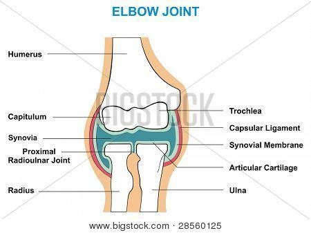 what is the first section of the small intestine vector elbow joint cross section vector photo bigstock