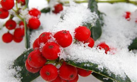 piante con fiori invernali bacche invernali 7 piante coloreranno il vostro