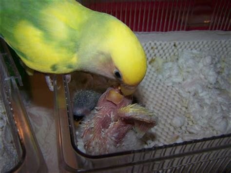 true love aviary co parenting baby lovebirds