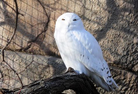 amazoncom snowy owl map snowy owl sightings in chicago area chicago tonight wttw