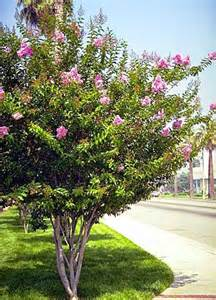 beechwood landscape architecture construction tuscarora crapemyrtle featured plant
