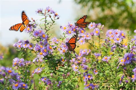 Flowers For Butterfly Garden Help Save Pollinators Plant An Organic Butterfly Garden